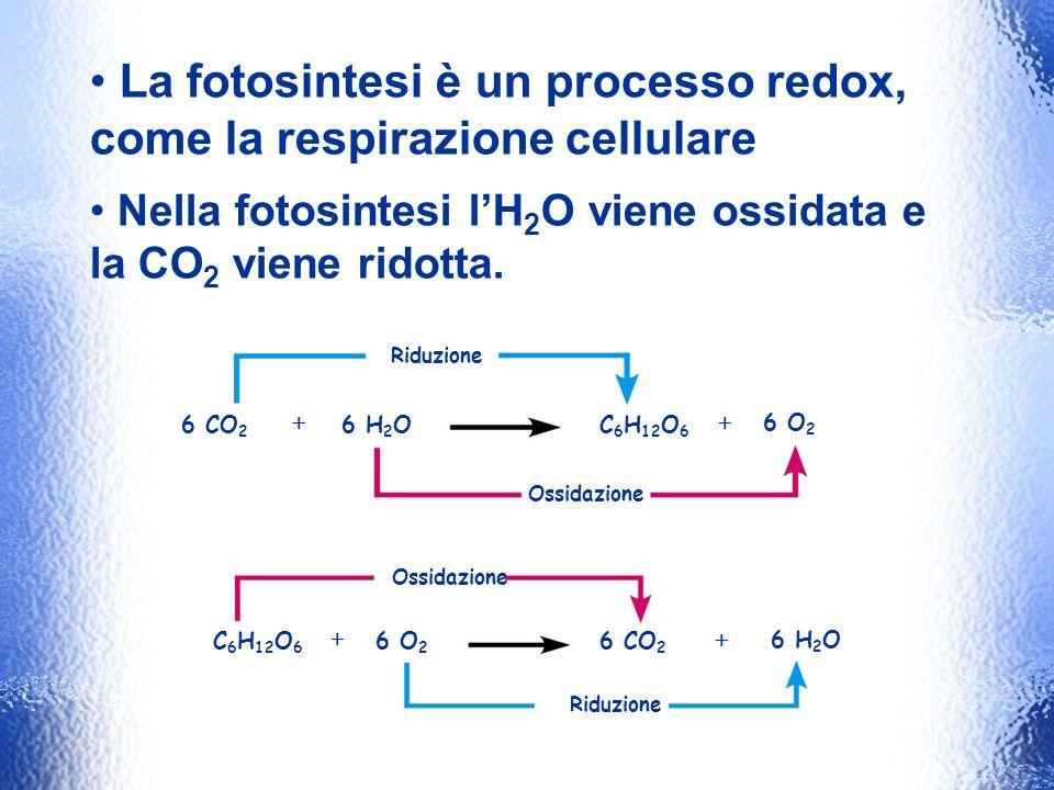 La fotosintesi è un processo redox, come la respirazione cellulare