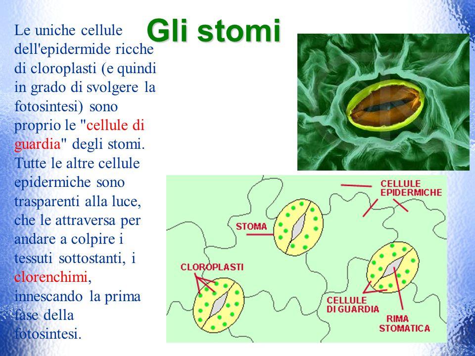 Gli stomiLe uniche cellule dell epidermide ricche di cloroplasti (e quindi. in grado di svolgere la fotosintesi) sono proprio le cellule di.