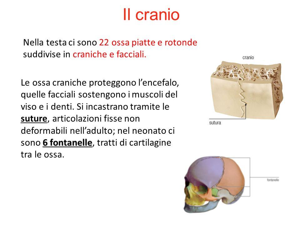 27/11/11 09/09/12. Il cranio. Nella testa ci sono 22 ossa piatte e rotonde suddivise in craniche e facciali.