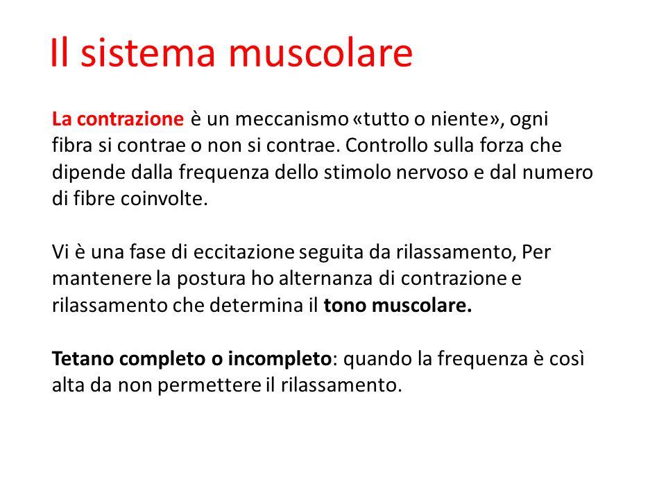 09/09/12 27/11/11. Il sistema muscolare.