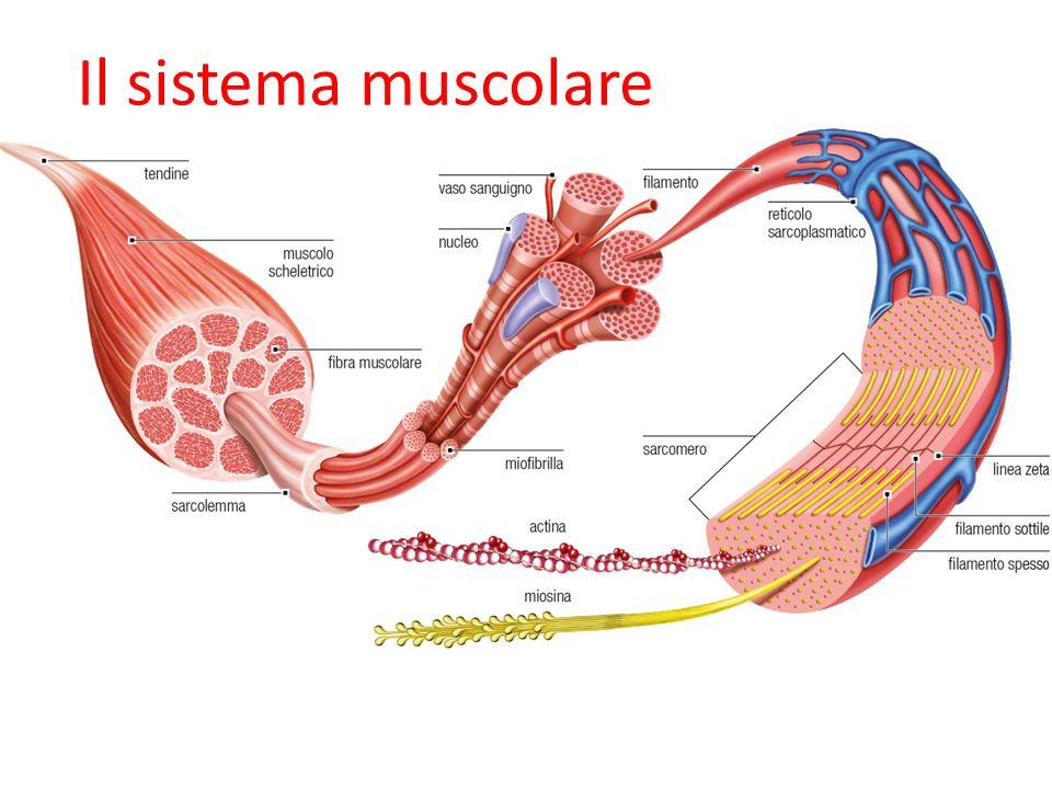 09/09/12 27/11/11 Il sistema muscolare 24 24 24