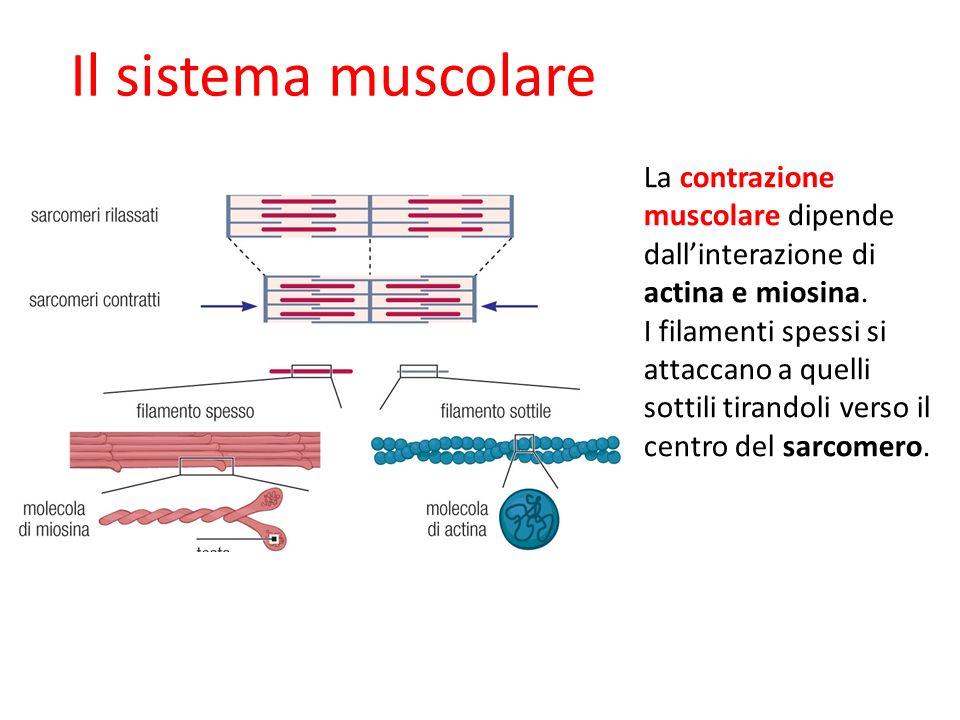 09/09/1227/11/11. Il sistema muscolare. La contrazione muscolare dipende dall'interazione di actina e miosina.