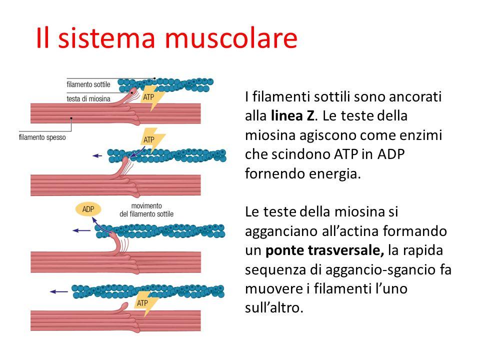 09/09/1227/11/11. Il sistema muscolare.