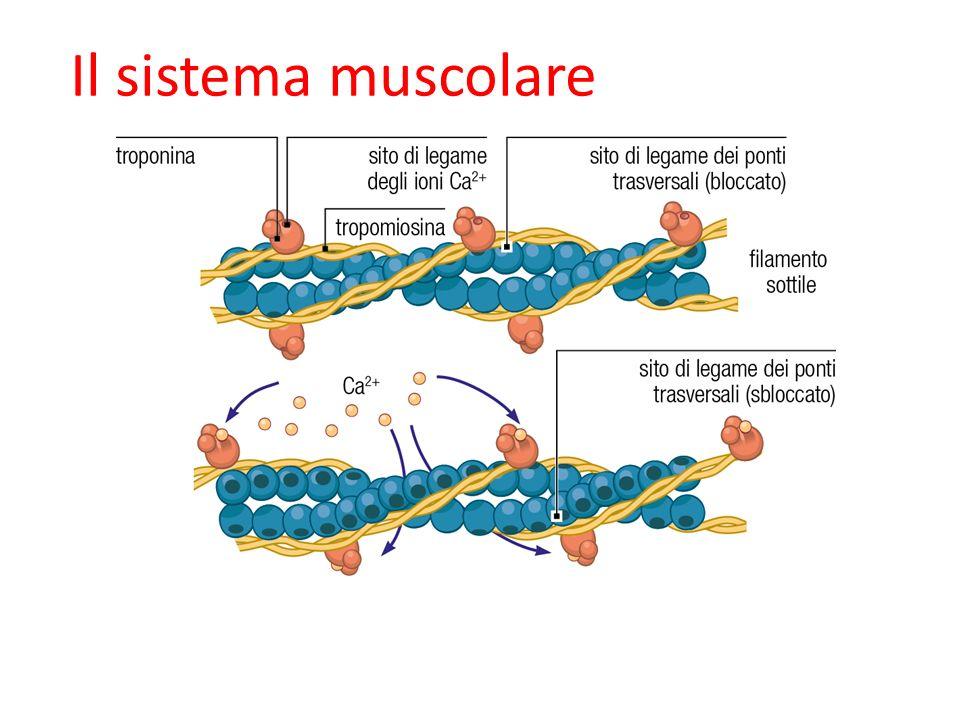 09/09/12 27/11/11 Il sistema muscolare 28 28 28