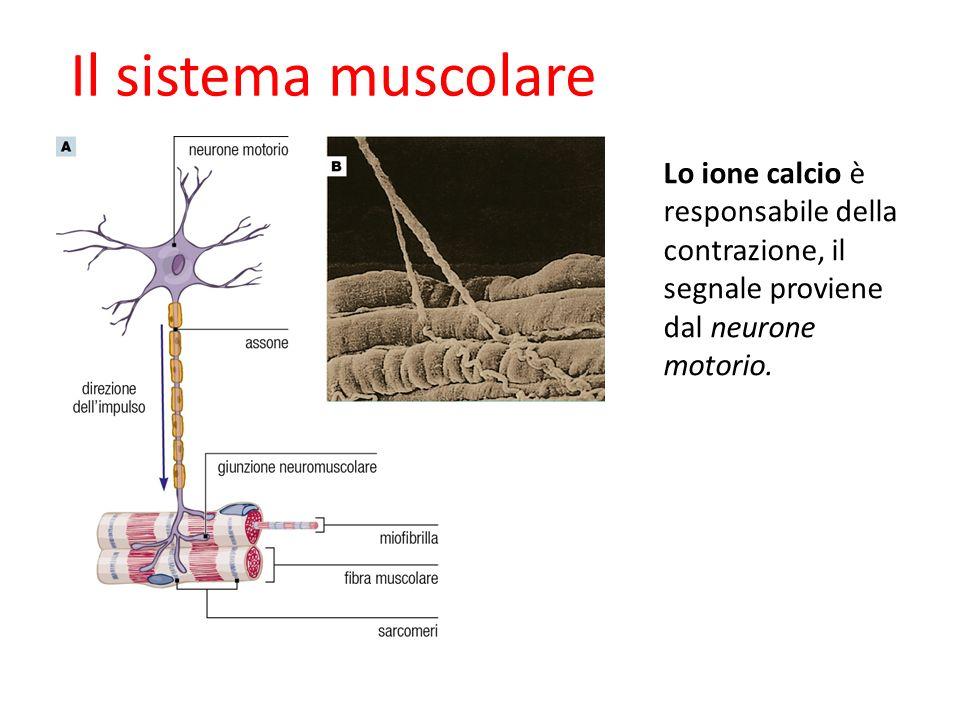 09/09/1227/11/11. Il sistema muscolare. Lo ione calcio è responsabile della contrazione, il segnale proviene dal neurone motorio.