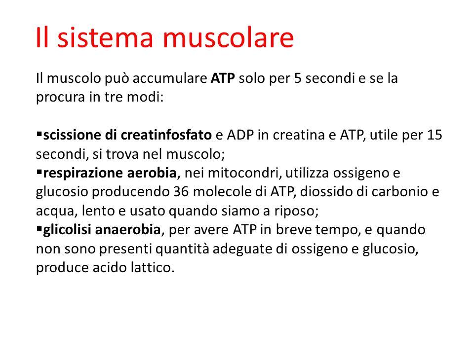 09/09/1227/11/11. Il sistema muscolare. Il muscolo può accumulare ATP solo per 5 secondi e se la procura in tre modi: