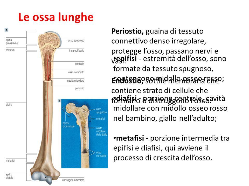27/11/1109/09/12. Le ossa lunghe. Periostio, guaina di tessuto connettivo denso irregolare, protegge l'osso, passano nervi e vasi.