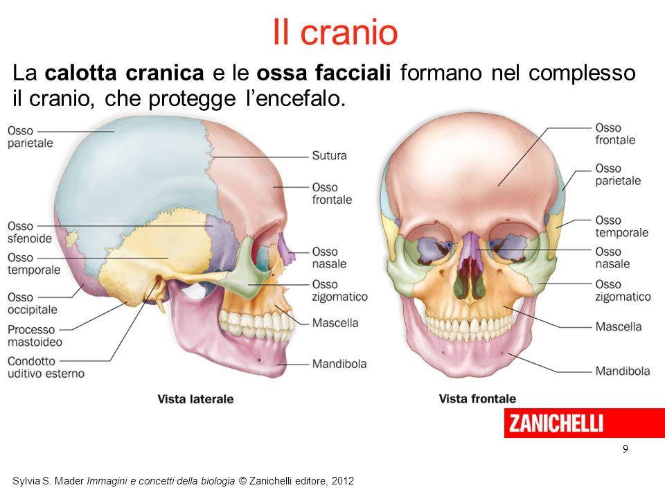 Il cranioLa calotta cranica e le ossa facciali formano nel complesso il cranio, che protegge l'encefalo.