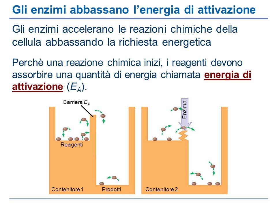 Gli enzimi abbassano l'energia di attivazione