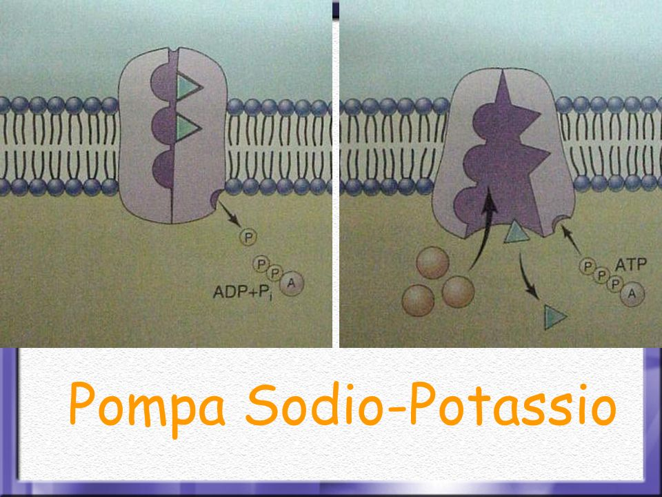 Pompa Sodio-Potassio