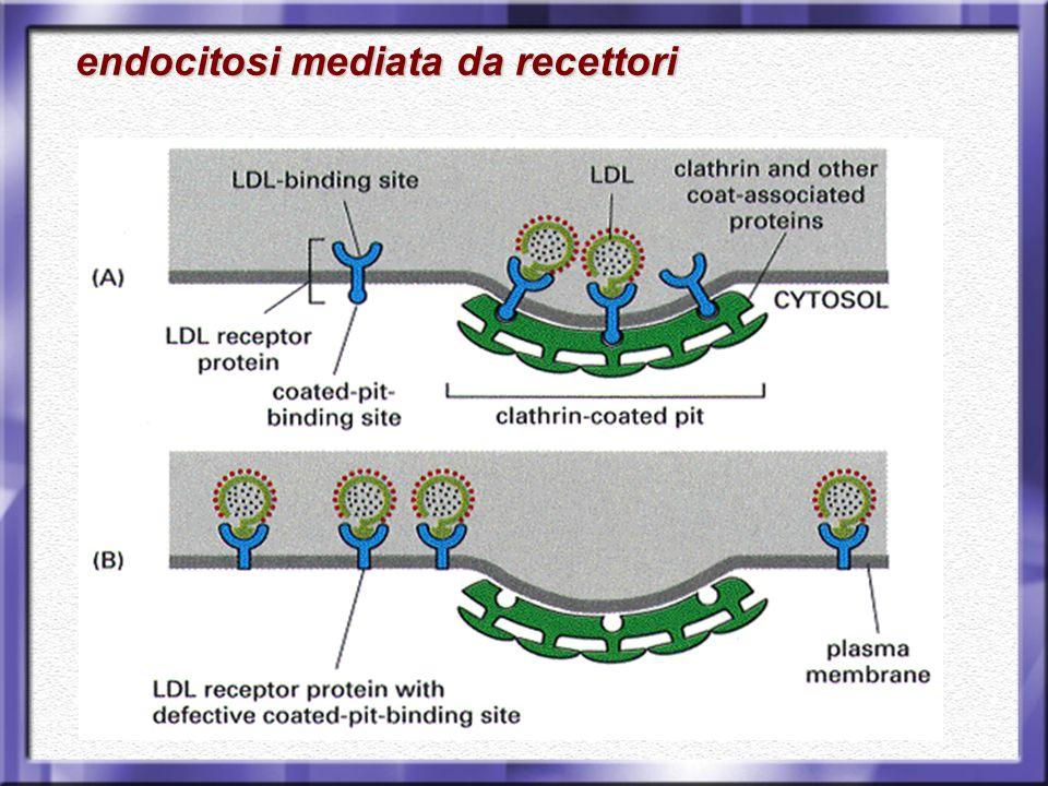 endocitosi mediata da recettori