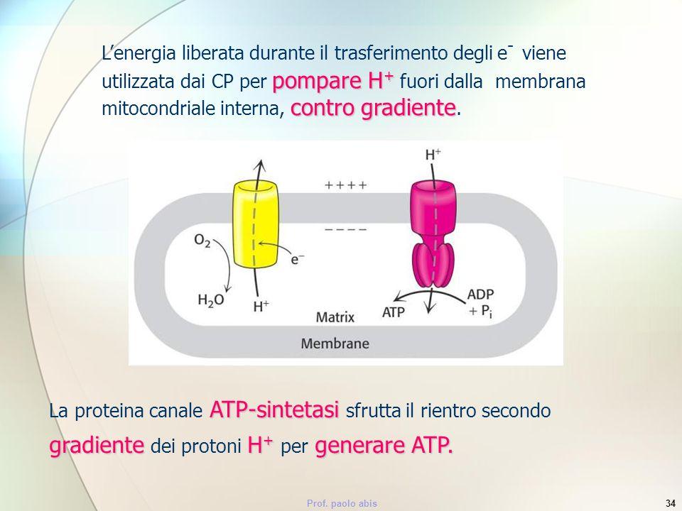 L'energia liberata durante il trasferimento degli e- viene utilizzata dai CP per pompare H+ fuori dalla membrana mitocondriale interna, contro gradiente.