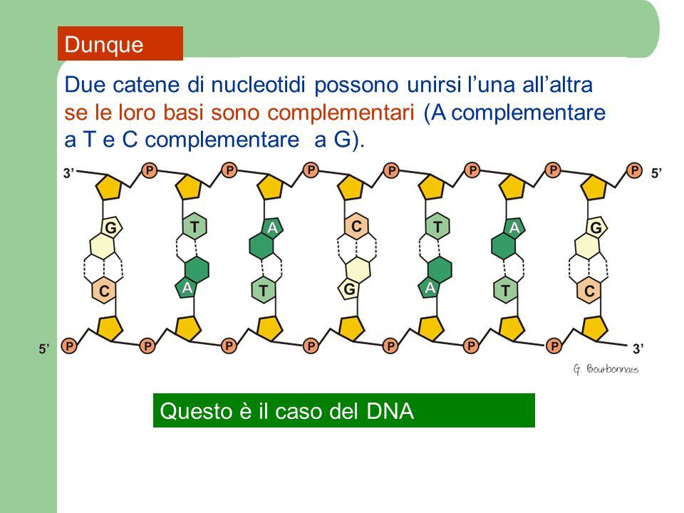 DunqueDue catene di nucleotidi possono unirsi l'una all'altra se le loro basi sono complementari (A complementare a T e C complementare a G).