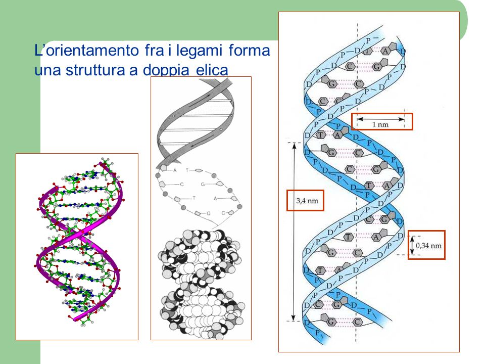 L'orientamento fra i legami forma una struttura a doppia elica