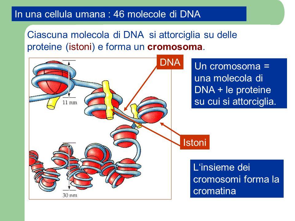In una cellula umana : 46 molecole di DNA