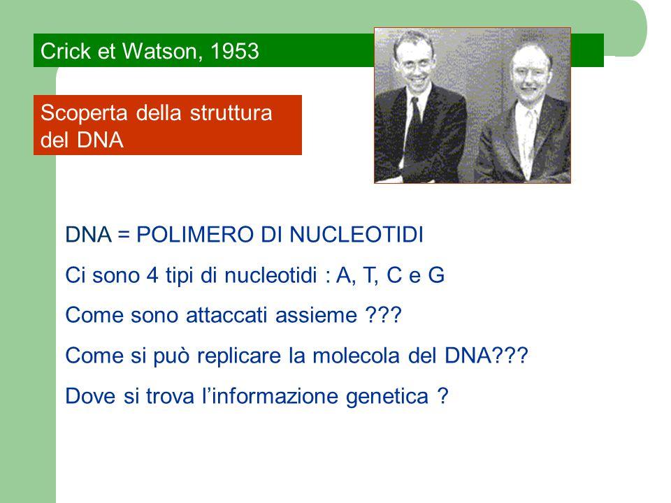 Crick et Watson, 1953Scoperta della struttura del DNA. DNA = POLIMERO DI NUCLEOTIDI. Ci sono 4 tipi di nucleotidi : A, T, C e G.
