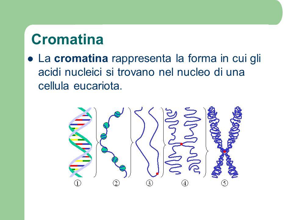 Cromatina La cromatina rappresenta la forma in cui gli acidi nucleici si trovano nel nucleo di una cellula eucariota.