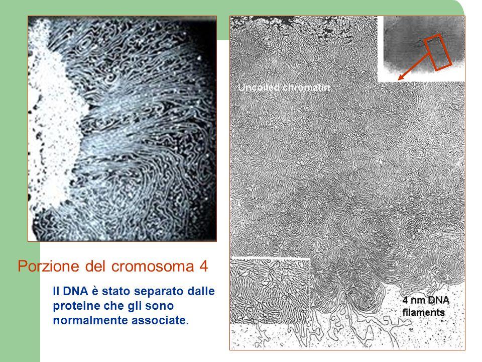 Porzione del cromosoma 4