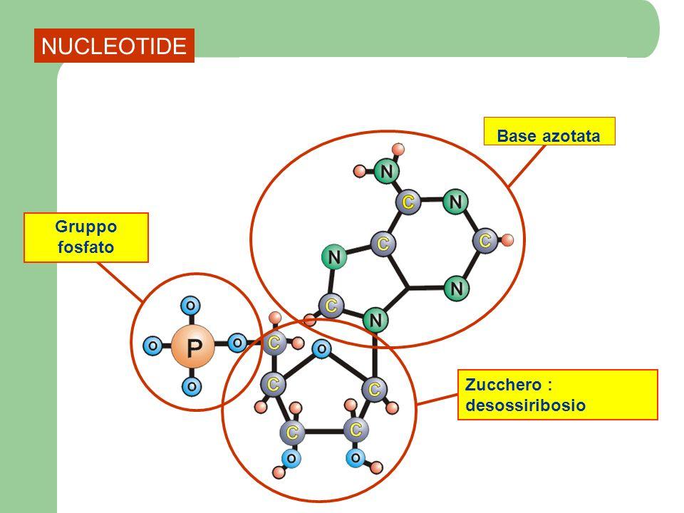 NUCLEOTIDE Base azotata Gruppo fosfato Zucchero : desossiribosio