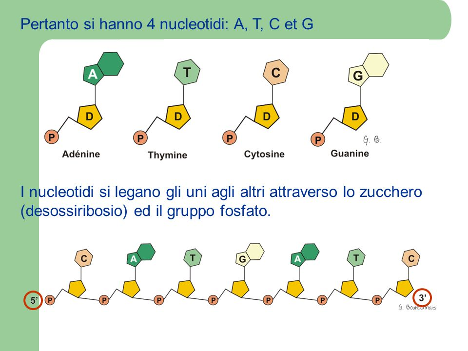Pertanto si hanno 4 nucleotidi: A, T, C et G