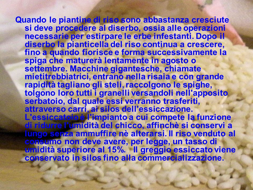 Quando le piantine di riso sono abbastanza cresciute si deve procedere al diserbo, ossia alle operazioni necessarie per estirpare le erbe infestanti.