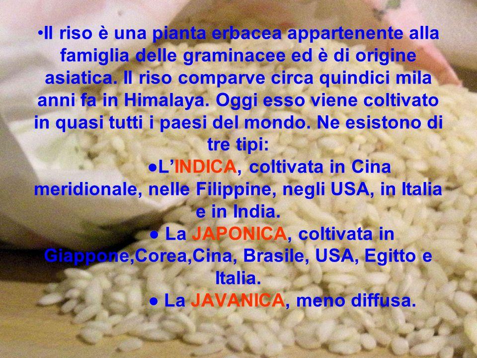 Il riso è una pianta erbacea appartenente alla famiglia delle graminacee ed è di origine asiatica.