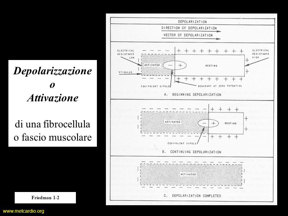 Depolarizzazione o Attivazione di una fibrocellula o fascio muscolare