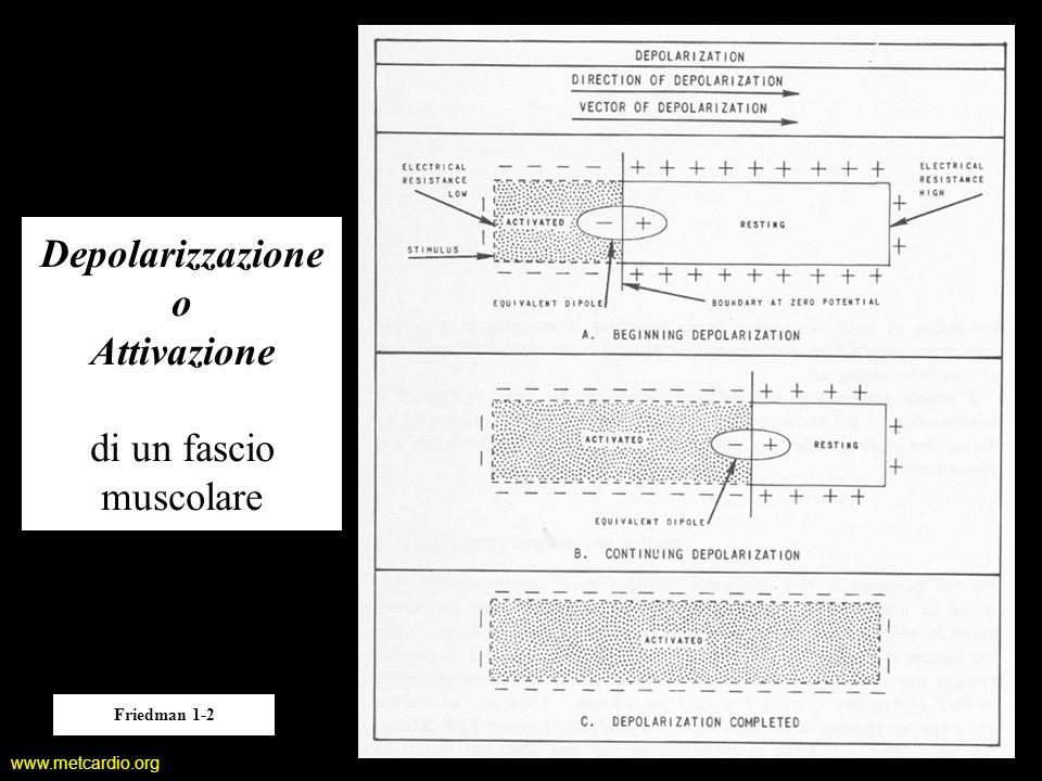 Depolarizzazione o Attivazione di un fascio muscolare