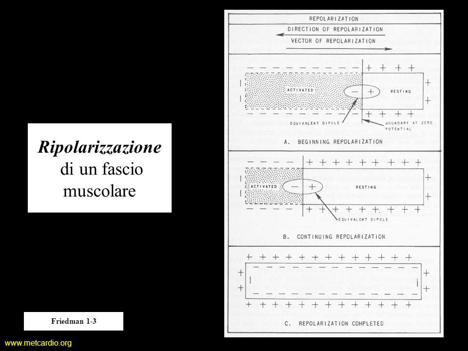 Ripolarizzazione di un fascio muscolare
