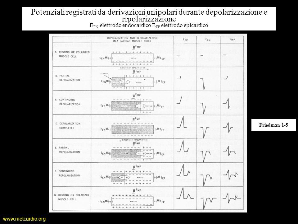 Potenziali registrati da derivazioni unipolari durante depolarizzazione e ripolarizzazione EEN elettrodo endocardico EEP elettrodo epicardico