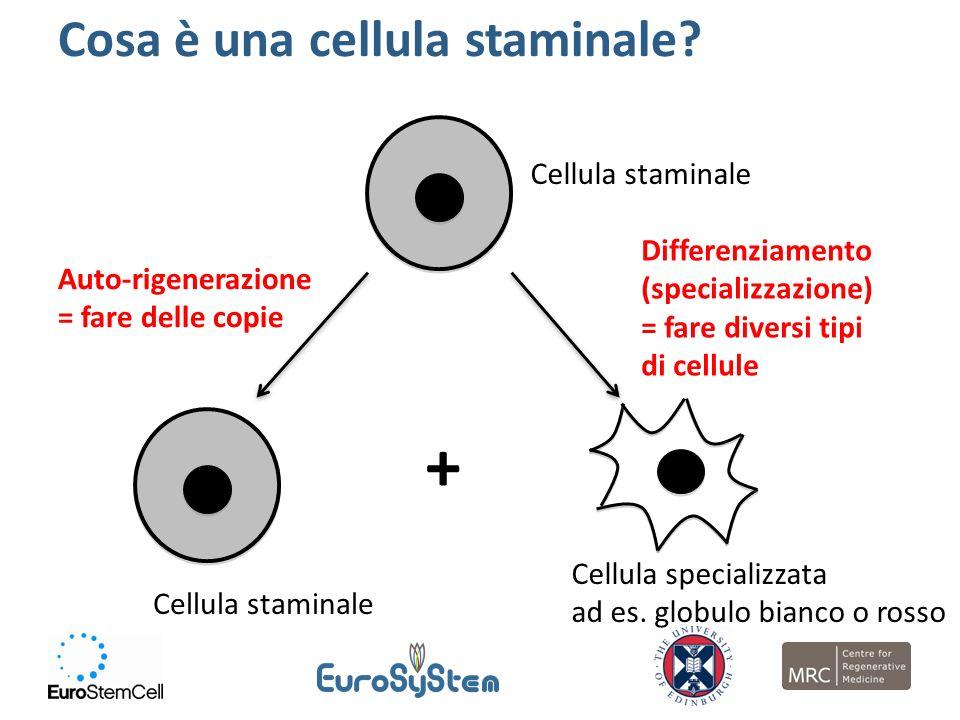 + Cosa è una cellula staminale Cellula staminale Differenziamento