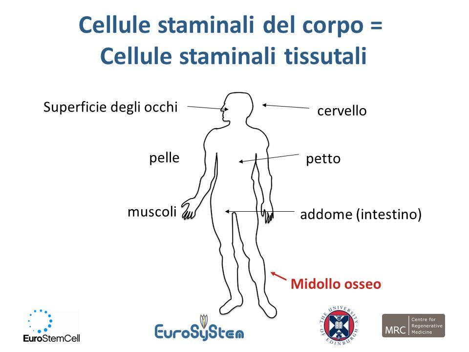 Cellule staminali del corpo = Cellule staminali tissutali
