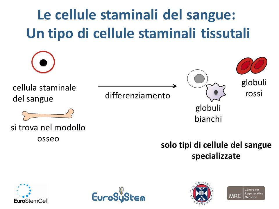 Le cellule staminali del sangue: