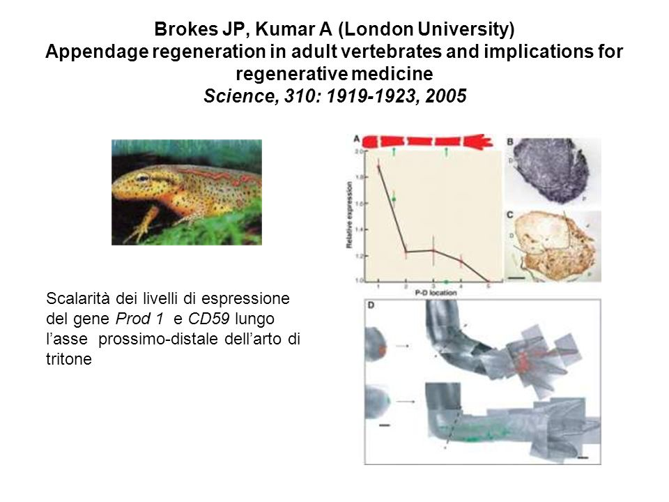 Brokes JP, Kumar A (London University) Appendage regeneration in adult vertebrates and implications for regenerative medicine Science, 310: , 2005