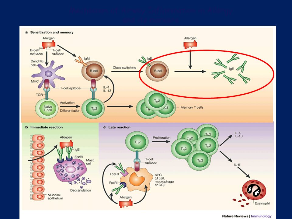 Mechanism of Airway Inflammation in Allergy and its markers