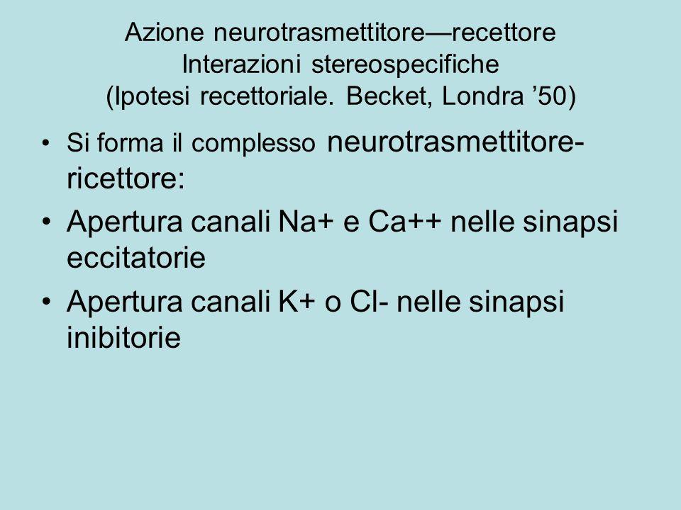 Apertura canali Na+ e Ca++ nelle sinapsi eccitatorie