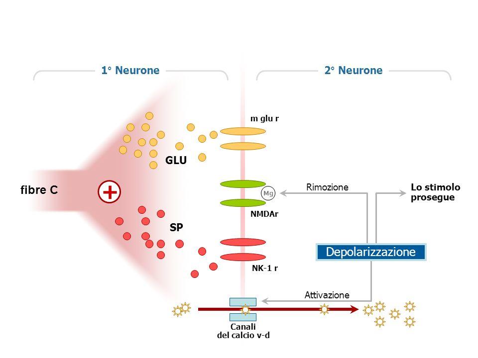 + fibre C Depolarizzazione 1° Neurone 2° Neurone GLU SP Rimozione