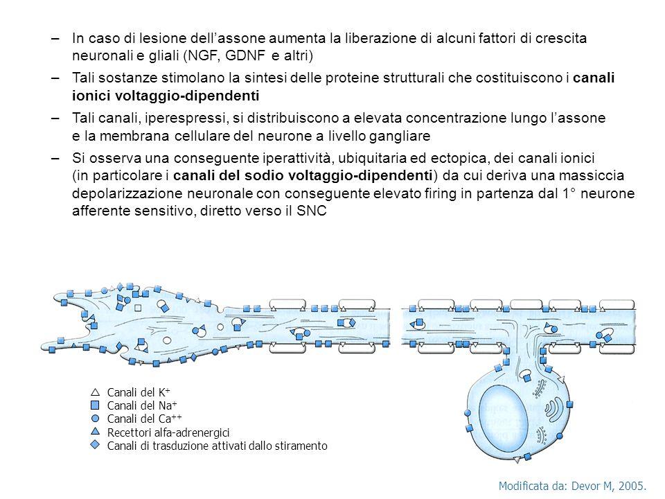 In caso di lesione dell'assone aumenta la liberazione di alcuni fattori di crescita neuronali e gliali (NGF, GDNF e altri)
