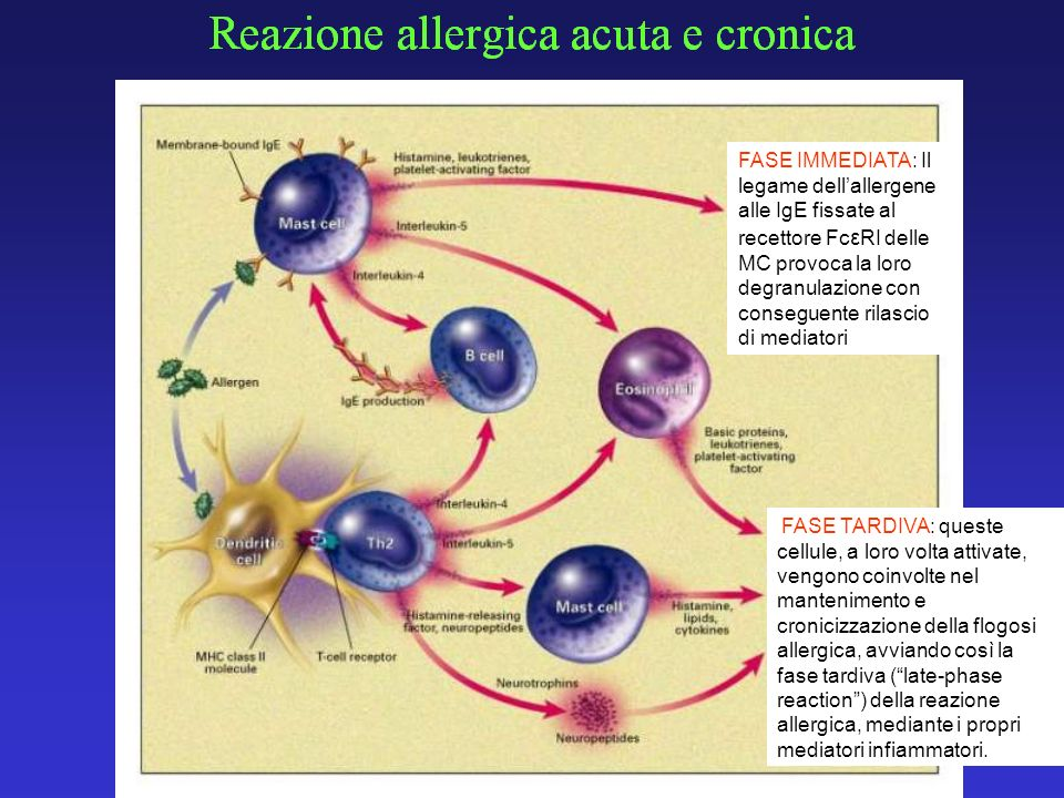FASE IMMEDIATA: Il legame dell'allergene alle IgE fissate al recettore FcεRI delle MC provoca la loro degranulazione con conseguente rilascio di mediatori