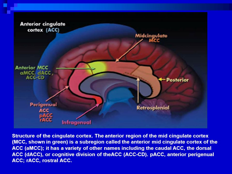Structure of the cingulate cortex