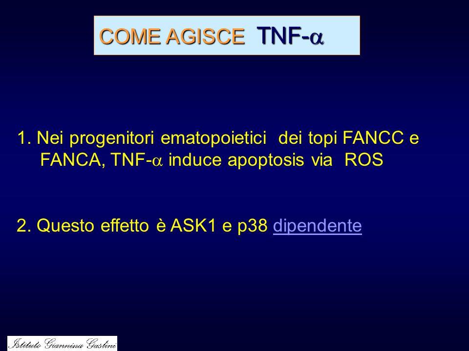 COME AGISCE TNF- 1. Nei progenitori ematopoietici dei topi FANCC e FANCA, TNF- induce apoptosis via ROS.