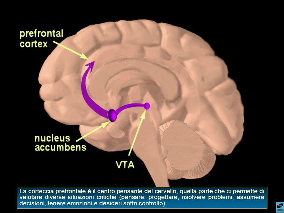 La corteccia prefrontale è il centro pensante del cervello, quella parte che ci permette di valutare diverse situazioni critiche (pensare, progettare, risolvere problemi, assumere decisioni, tenere emozioni e desideri sotto controllo)