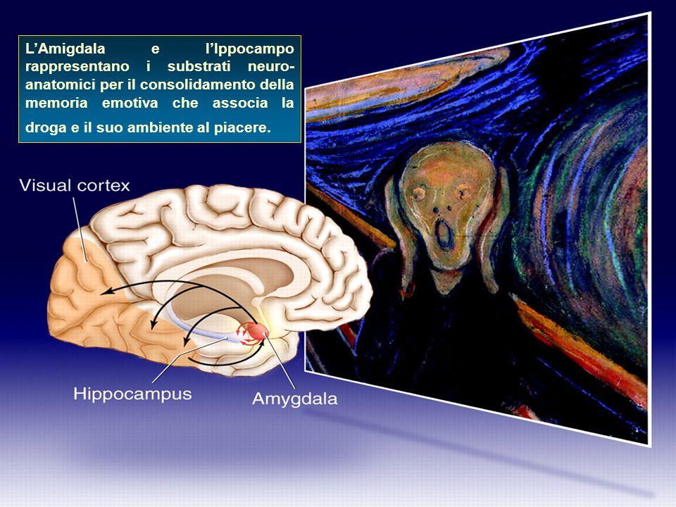 L'Amigdala e l'Ippocampo rappresentano i substrati neuro-anatomici per il consolidamento della memoria emotiva che associa la droga e il suo ambiente al piacere.