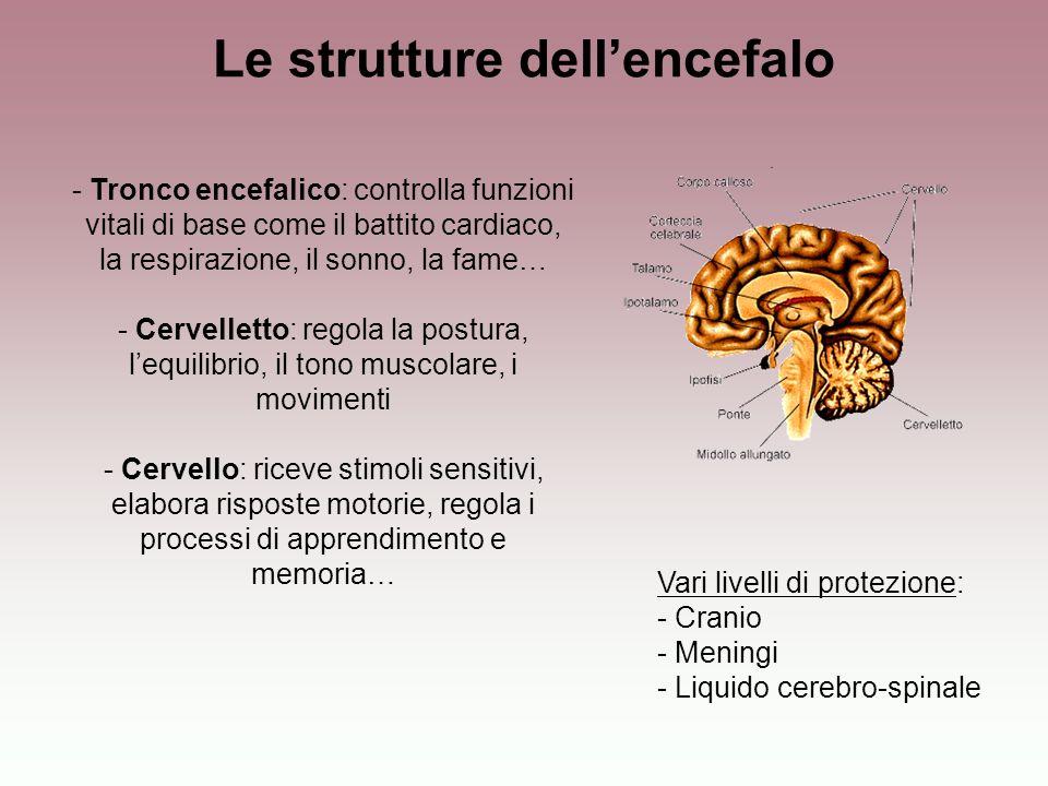 Le strutture dell'encefalo