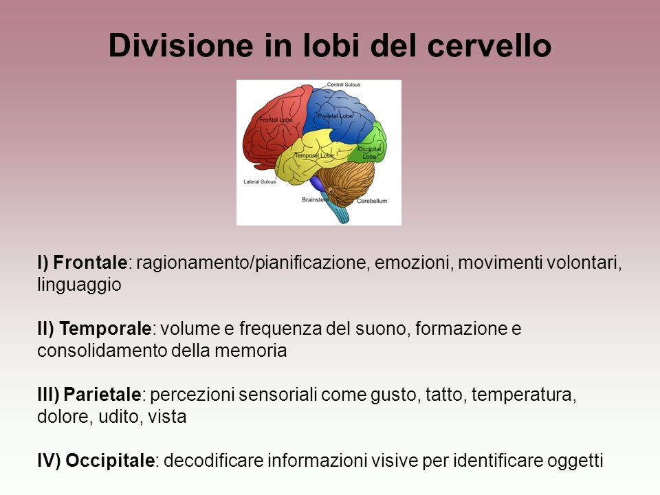 Divisione in lobi del cervello