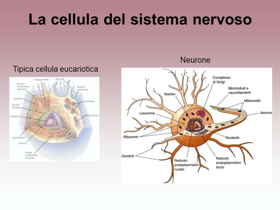 La cellula del sistema nervoso