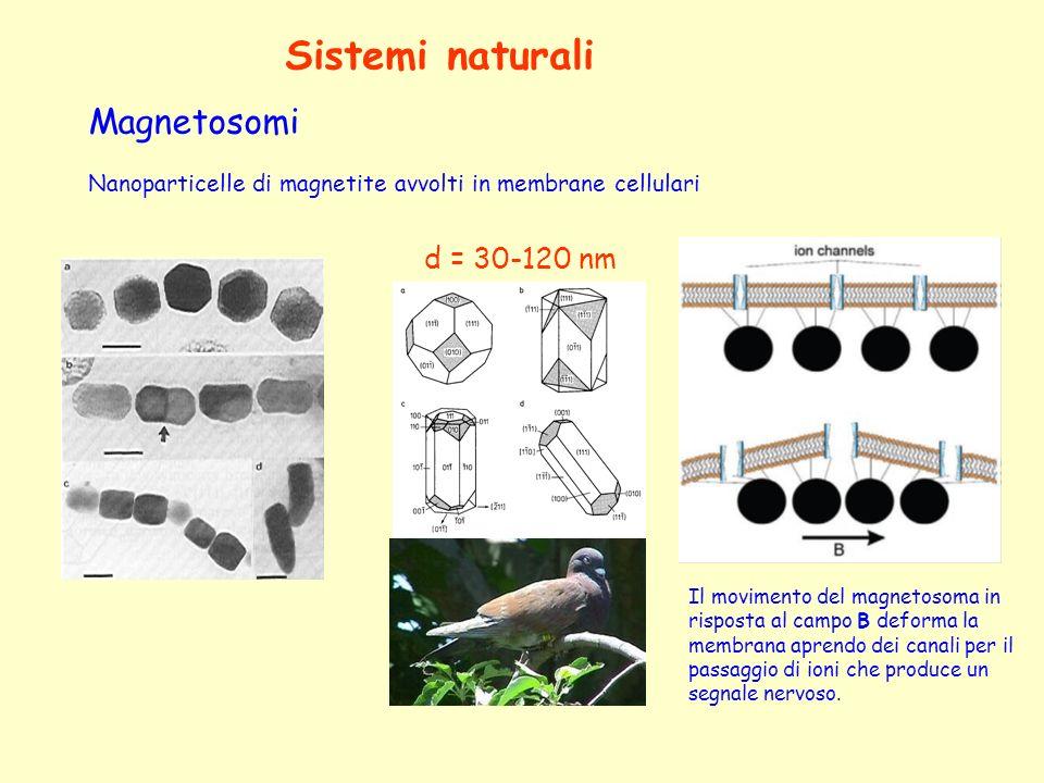 Sistemi naturali Magnetosomi d = 30-120 nm