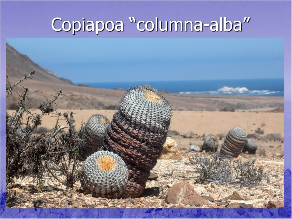 Copiapoa columna-alba