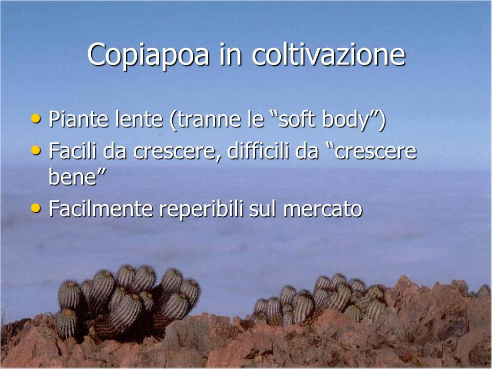 Copiapoa in coltivazione