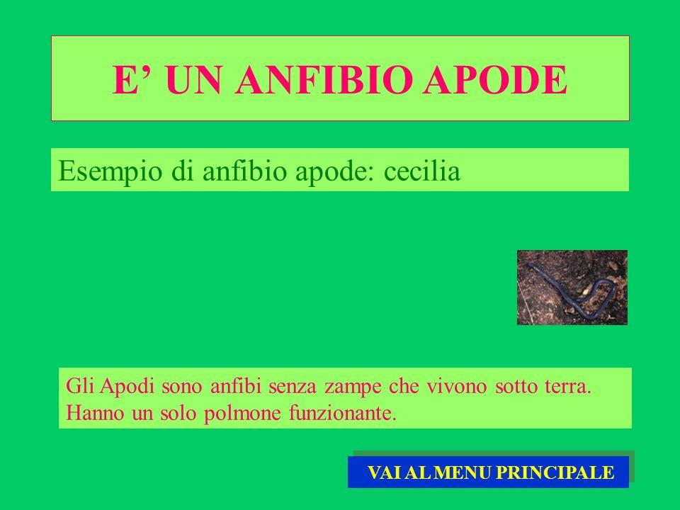 E' UN ANFIBIO APODE Esempio di anfibio apode: cecilia